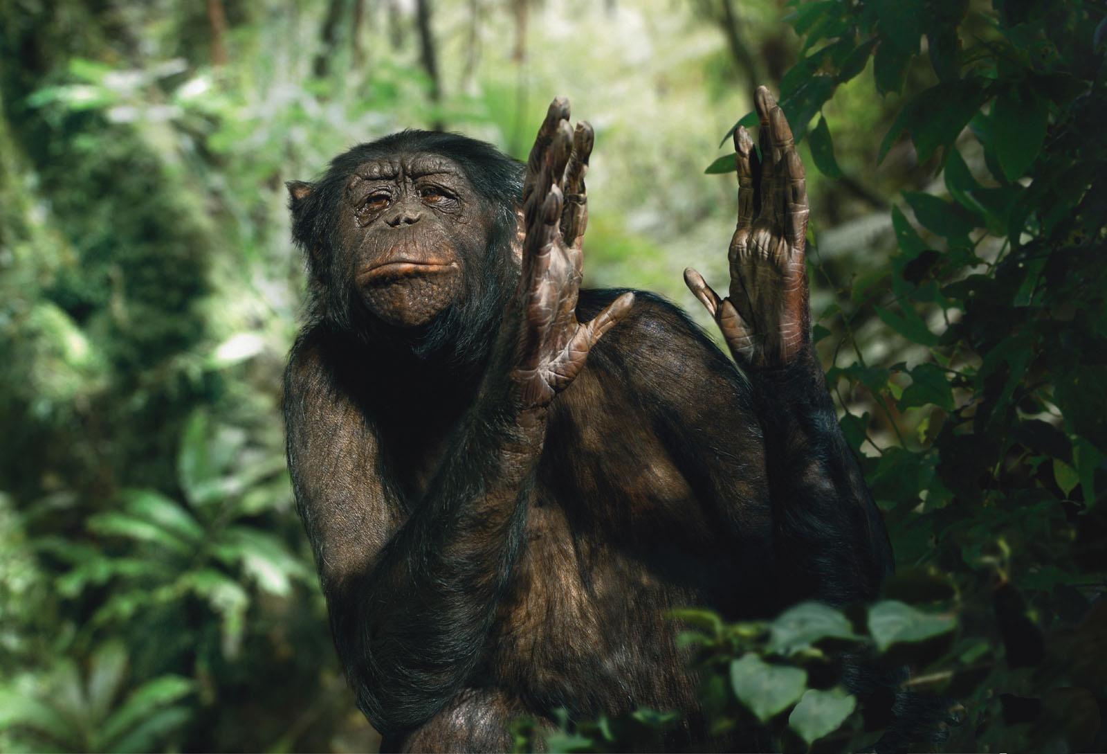Chimpanzés (2)