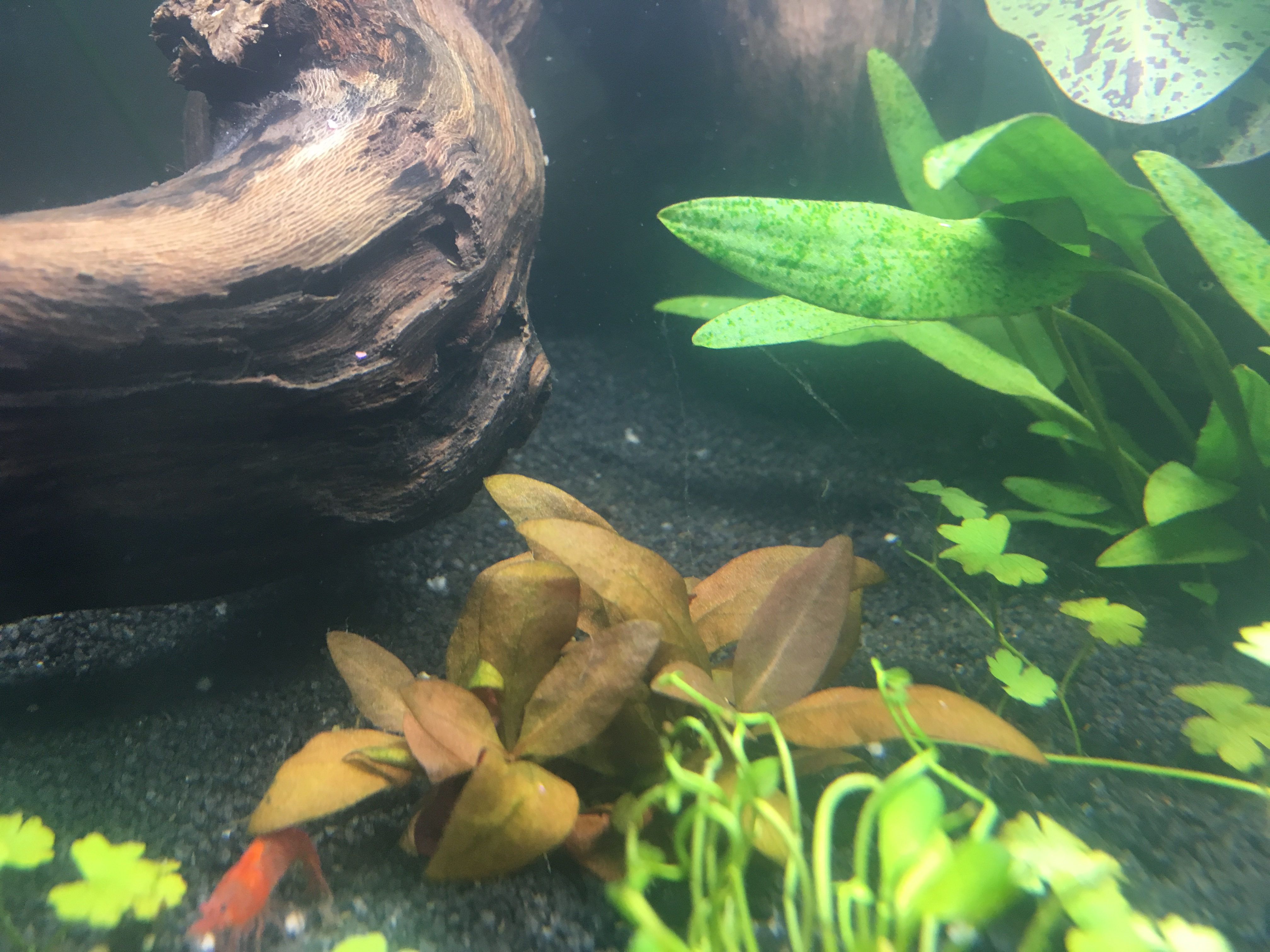 Algues filamenteuse