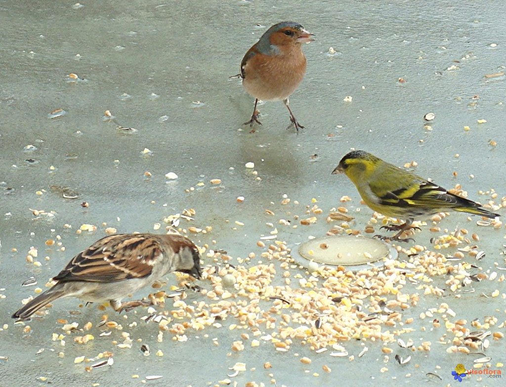 oiseaux-du-jardin-visoflora-48591