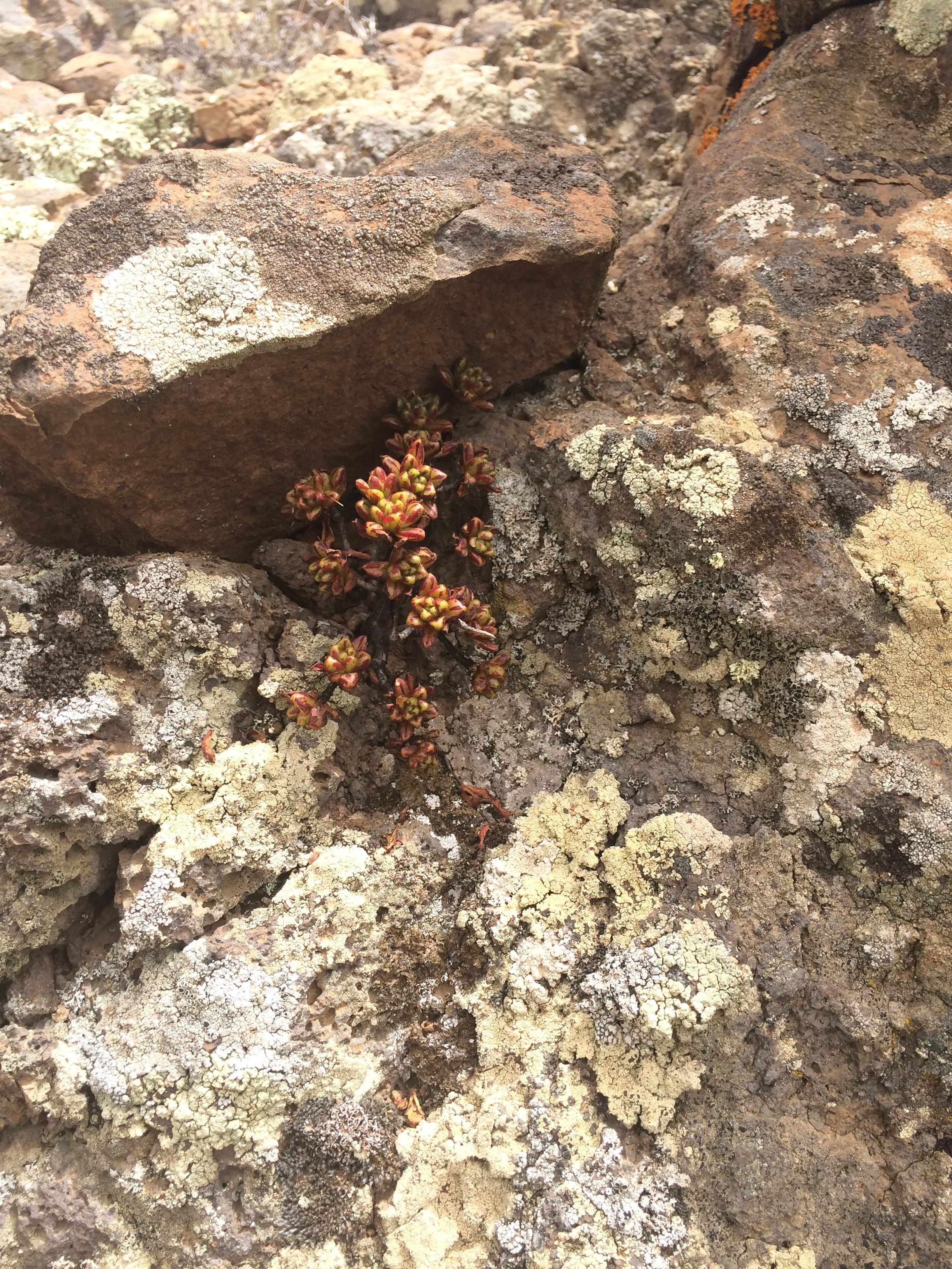 Aeonium sedifolium - aeonium à feuilles de sedum 181128104728186438
