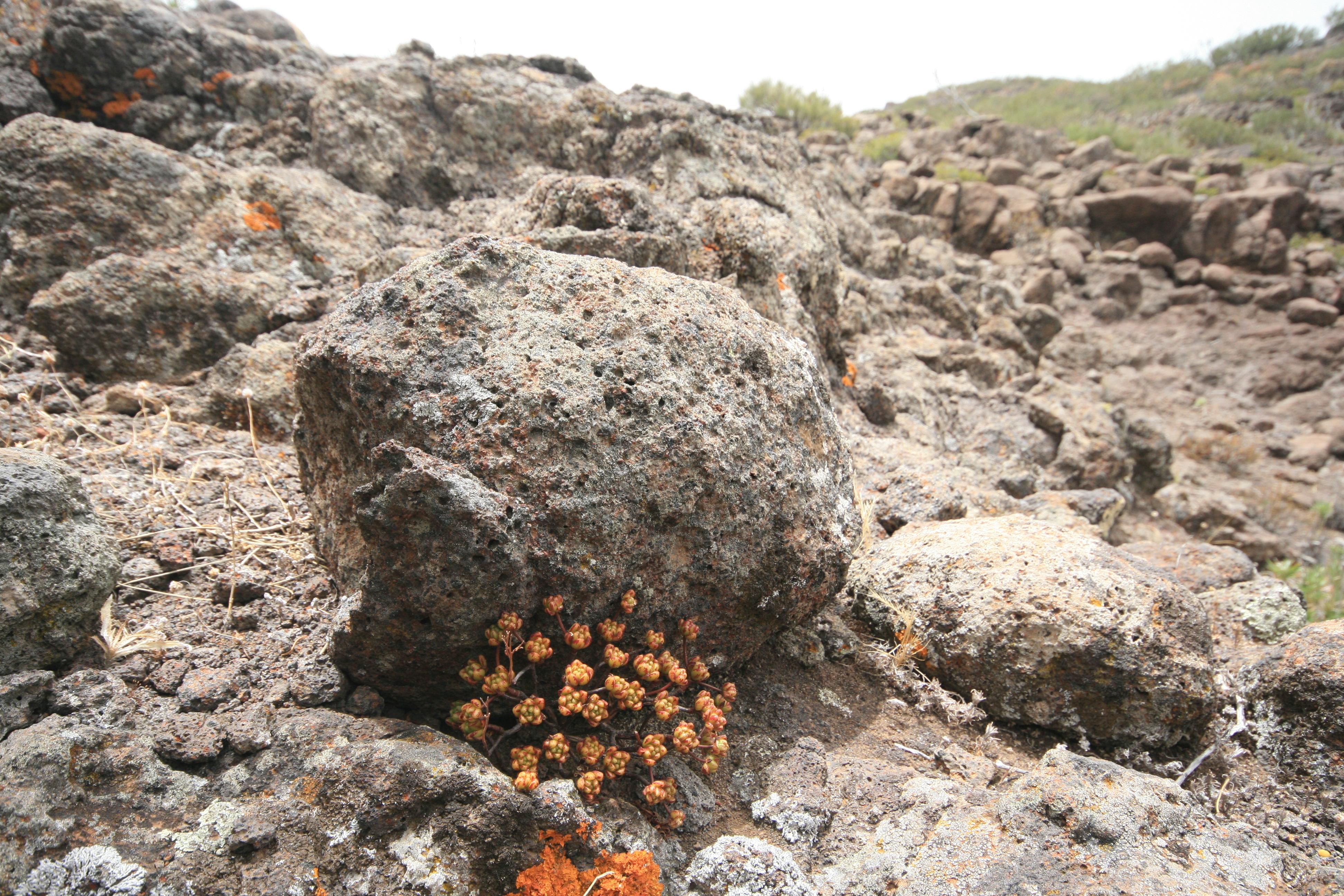 Aeonium sedifolium - aeonium à feuilles de sedum 181128104729454538
